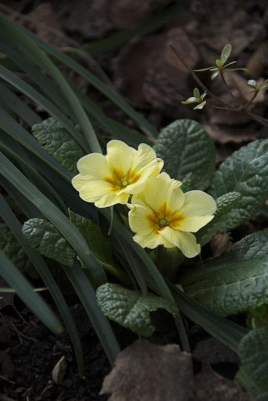 Primule gialle in fiore