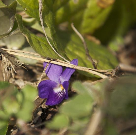 Timida violetta tra le sterpaglie