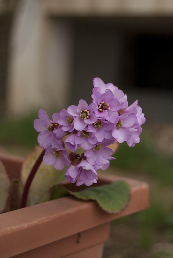 Fiori rosa di bergenia