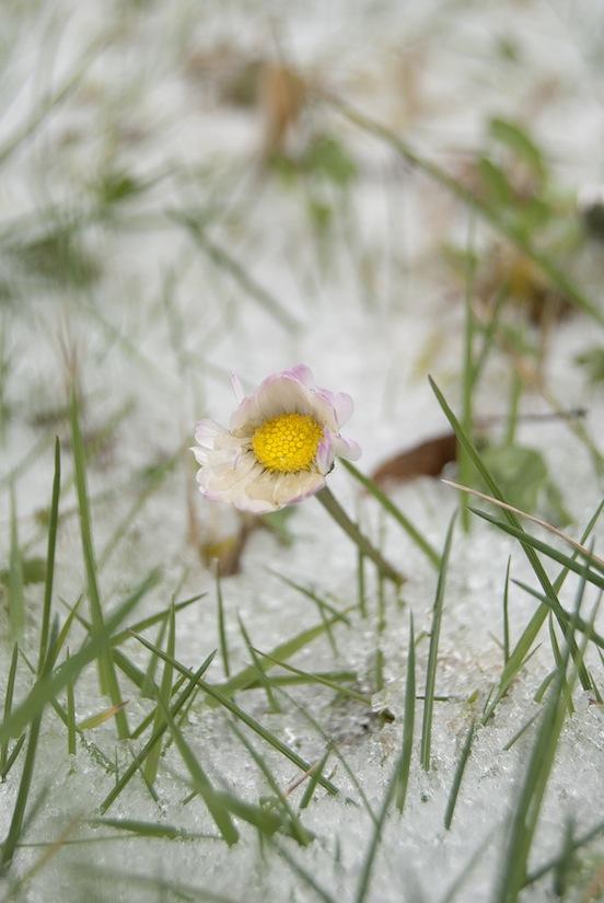 Bellis perennis (margherita) che spunta dal manto innevato