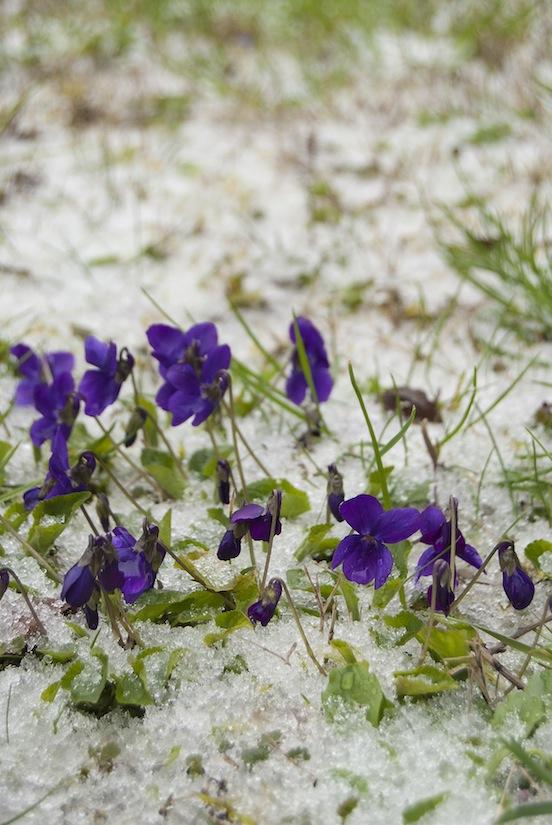 Violette nella neve