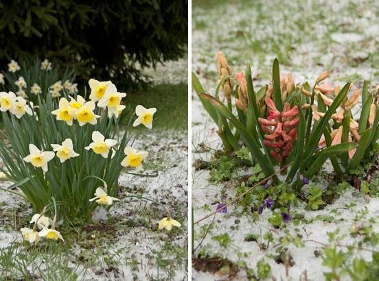 Narcisi e giacinti nella neve