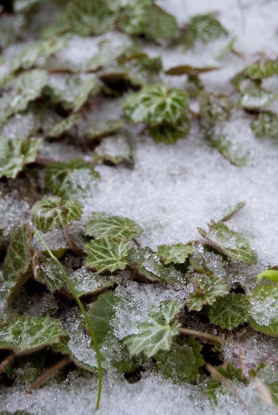 Saxifraga stolonifera sommersa dalla neva