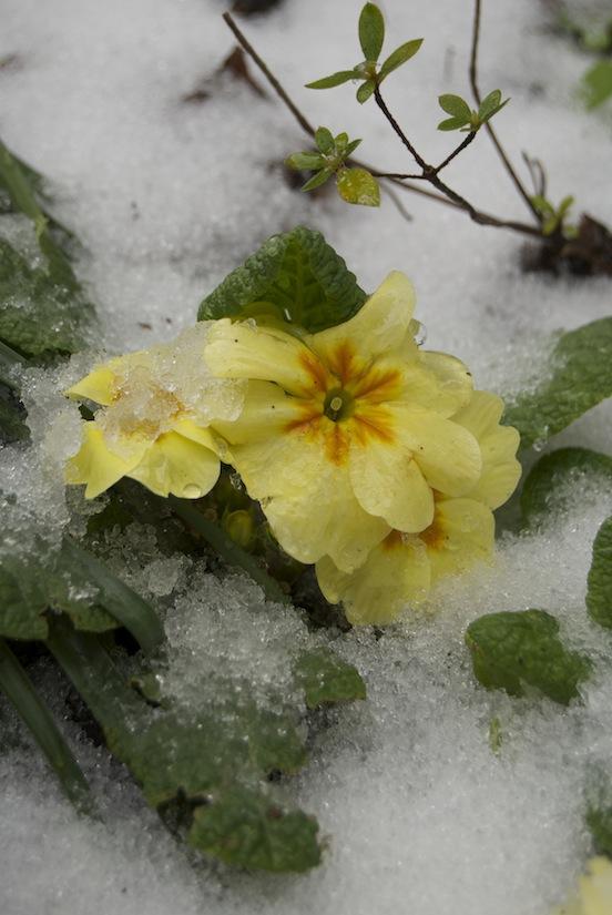 Primule nella neve