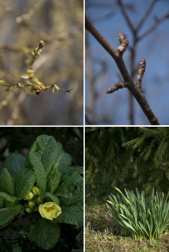 Scorci di giardino, primule in fiore e germogli di narcisi, peri e salici