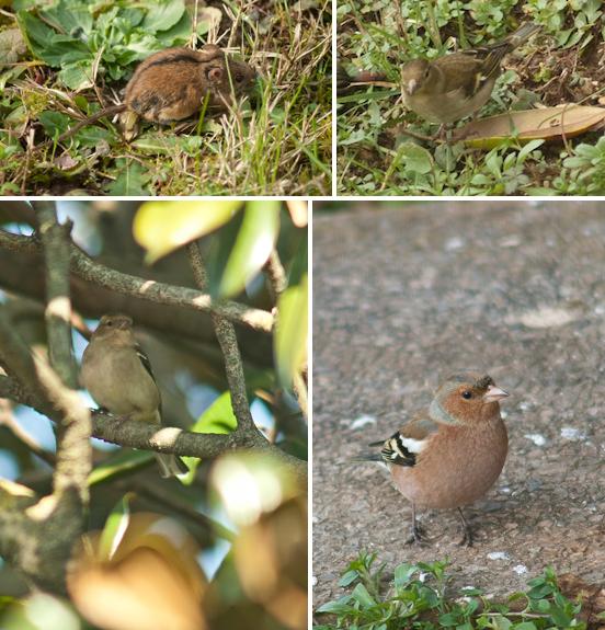 Topolino selvatico dal dorso striato e fringuelli maschio e femmina