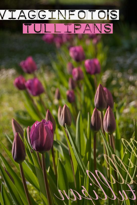Tulipani viola al primo giorno di apertura dei fiori