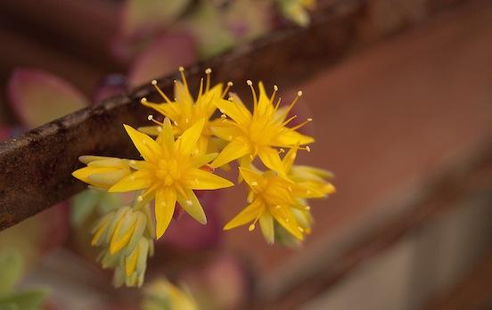 Sempervivum in fiore