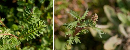 Pimpinella, foglie e infiorescenze