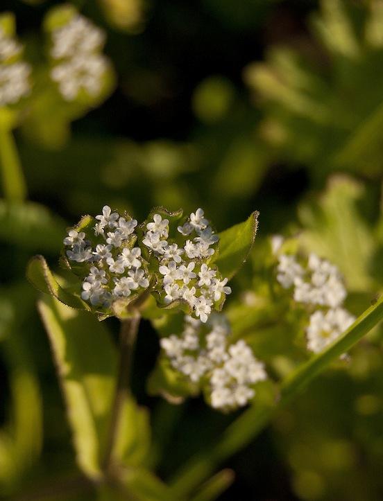 Fiorellini di campo bianchi