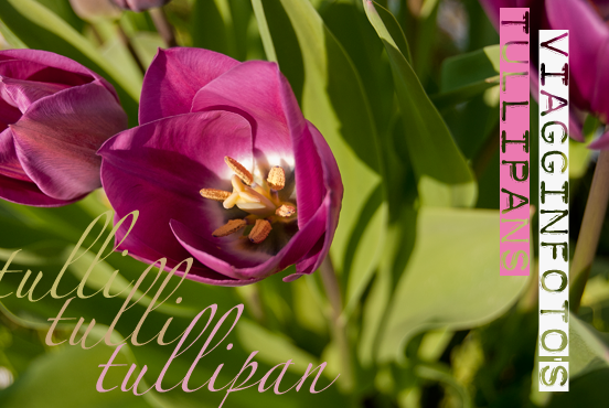Tulipano viola