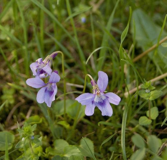 Ultime violette dell'anno dal colore lilla