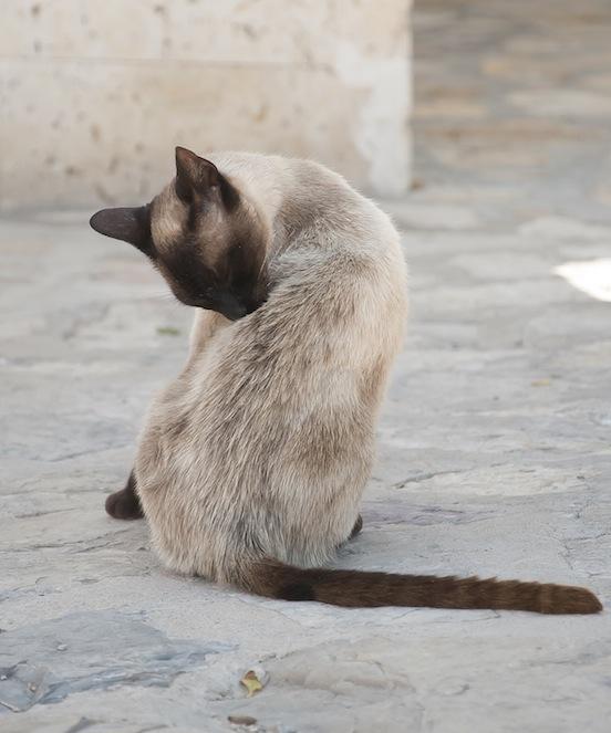 Gatto - Castello di Alcala del Jucar