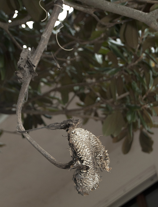 Girasole essiccato per uccellini