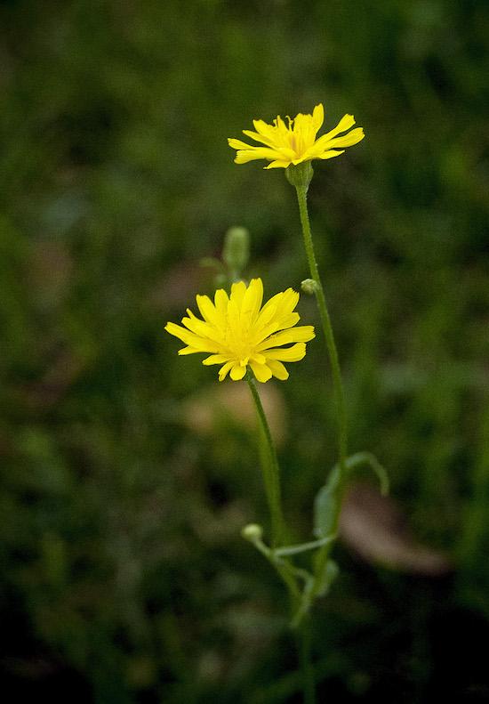 Composita gialla in fiore